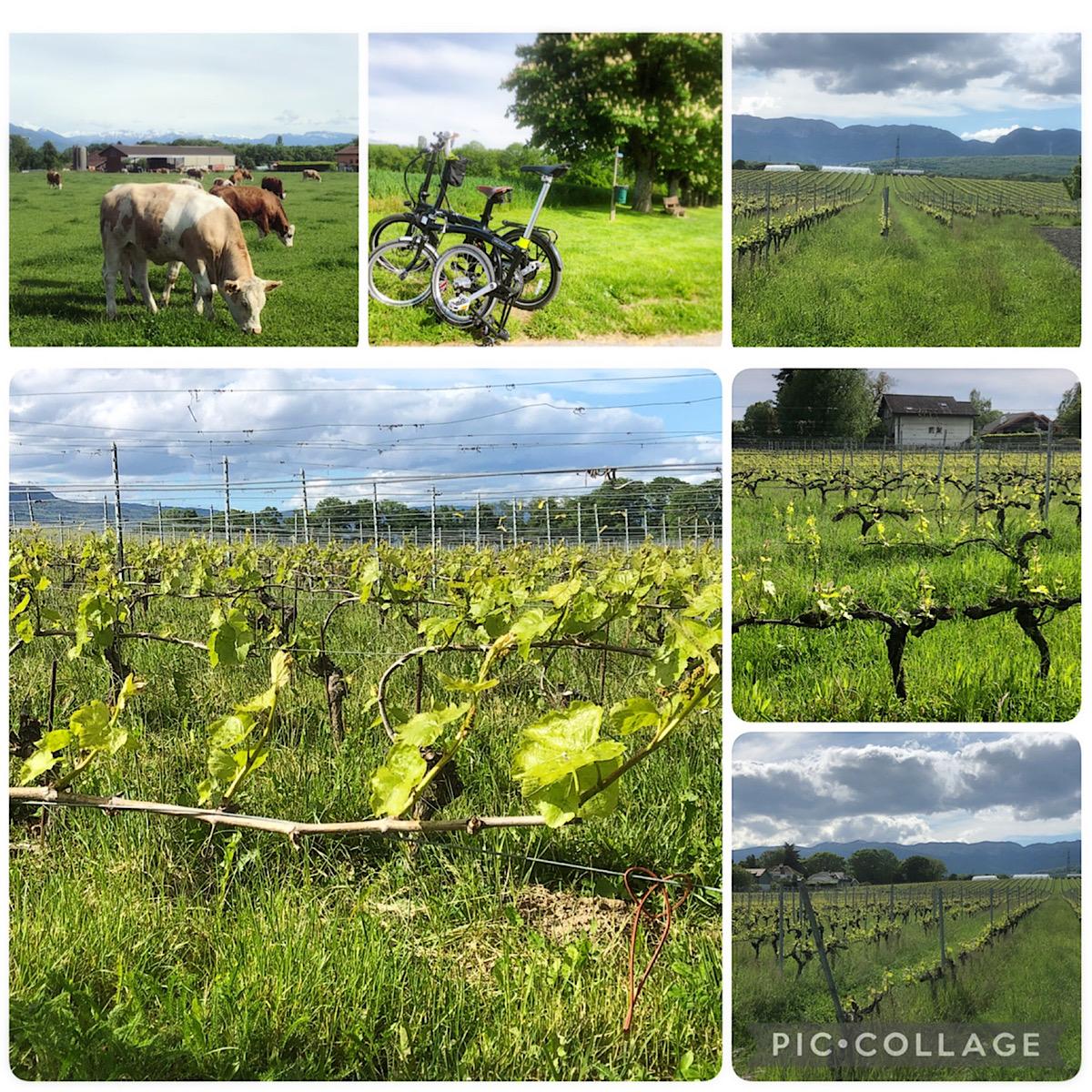 ジュネーブ郊外のワイン畑